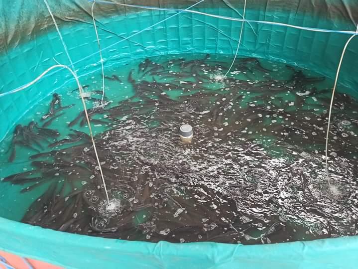 Tampak ikan lele jenis Sangkuriang yang dibudidaya Firawan Gobel.